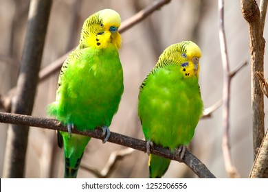 Budgerigar sits on a branch. The parrot is brightly green-colored. Bird parrot is a pet. Beautiful, pet wavy parrot.