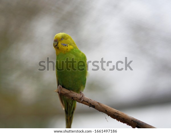 Budgerigar sits quietly on the tree branch