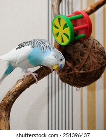 budgerigar sitting on dry branch and playing with toys