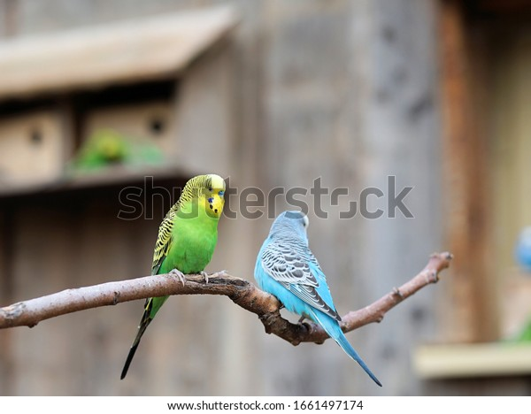 Budgerigars in front of the bird house