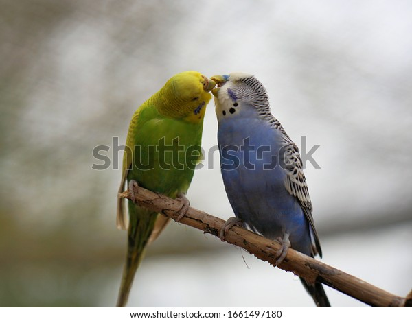 Budgerigars sit on the tree branch and kiss