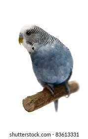 Budgie 4 years old on the white background
