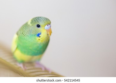 budgie australian parrot green yellow colors stock photo edit now