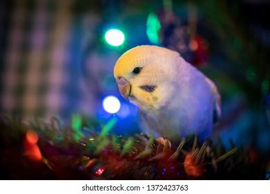 Budgie On The Christmas Tree