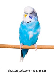 Budgie on the white backgro