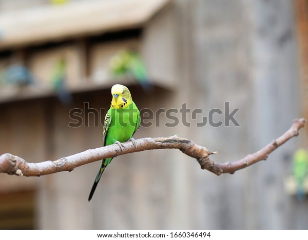 a budgie sits on the tree branch and looks around