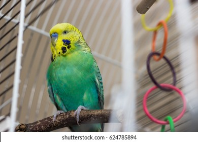 Budgie sitting on the wooden stick in cage. Parrot with toy bell behind.