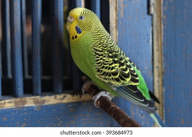 Budgie yellow-green