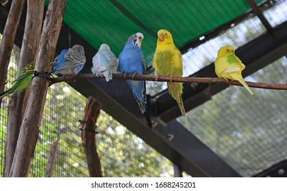Budgies, parakeets, on a branch