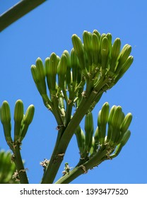 Buds of an Austrocylindropuntia subulata cactus (Eve's pin) on the shore of the Sea of Galilee in Capernaum, Israel