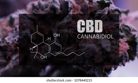 Buds of cannabis marijuana with the  formula CBD cannabidiol