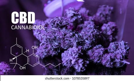 Buds of cannabis marijuana with  formula CBD cannabidiol THC