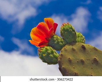 Buds and flower of prickly pear against the sun. Blue sky and white clouds. Opuntia. Lanzarote, Canary Islands, Spain