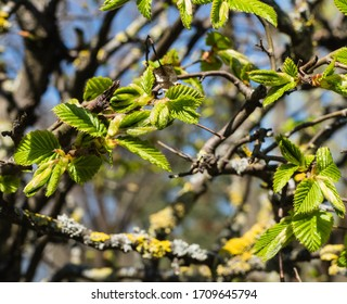 Buds of Hornbeam in Spring - Shutterstock ID 1709645794