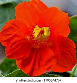 buds and inflorescences of a plant called nasturtium, commonly found in home gardens in the city of Białystok in Podlasie in Poland - Shutterstock ID 1795244767