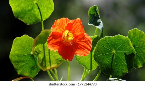 buds and inflorescences of a plant called nasturtium, commonly found in home gardens in the city of Białystok in Podlasie in Poland - Shutterstock ID 1795244770
