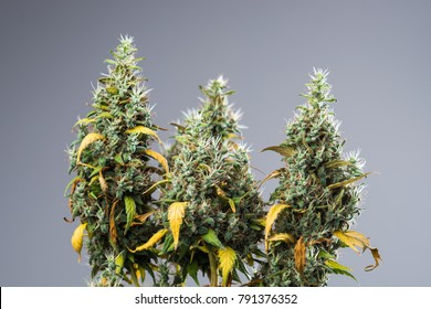 buds of marijuana, buds of cannabis variety of Jack Herer and hybrid with Indian and Afghan indica variety