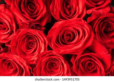 Buds of red roses close-up. Bright festive floral background.