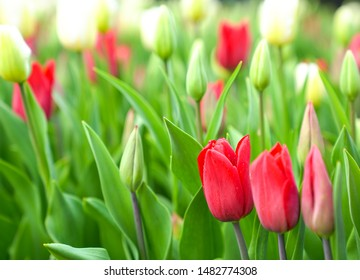 Buds of red and white tulips with fresh green leaves. Closeup on red rose tulip with copy space.