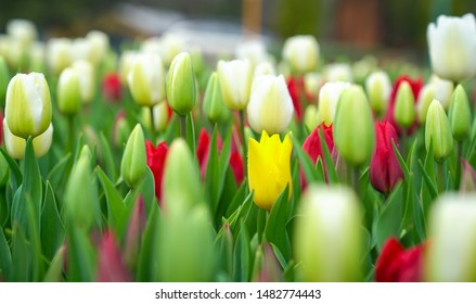 Buds of red and white tulips with fresh green leaves. Focus on one yellow tulip, stand out concept.
