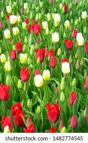 Buds of red and white tulips with fresh green leaves. Tulip bloom, spring season begins.