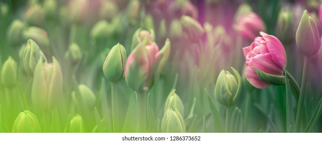 Buds of rose tulips with fresh green leaves in soft lights at blur background with place for your text. Hollands tulip bloom in an orangery in spring season. Floral banner for a floristry shop.
