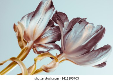 buds of tulips on a gentle blue background, abstract colors. close-up.