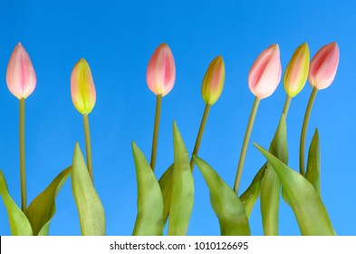 Buds of unopened tulips on a blue background