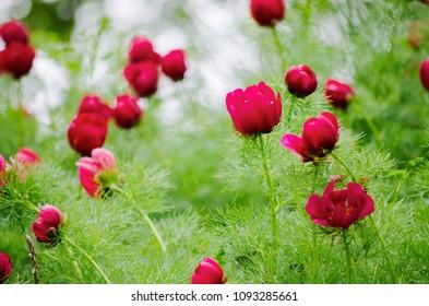 Buds of wild peony flower (Paeonia tenuifolia) close up.