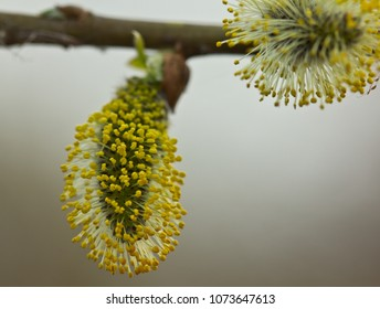 Buds of the willow blossom in early spring. So willow bush is flowering. Its flowers give a lot of pollen.