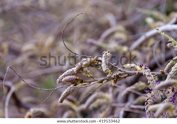 Buds Wisteria Flowers Early Spring Stock Photo Edit Now 419533462
