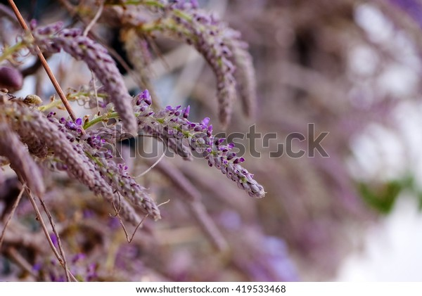 Buds Wisteria Flowers Early Spring Stock Photo Edit Now 419533468