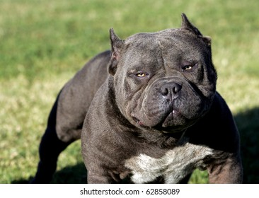 Royalty Free Blue Nose Pitbull Images Stock Photos Vectors
