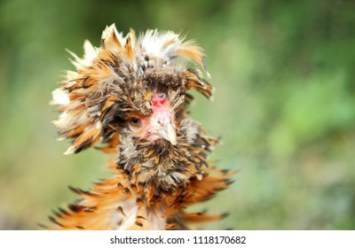 Buff laced Polish chicken head,posing for camera.Those are a very special and unique breed of chicken with their huge bouffant crest of feathers and v-shaped comb.