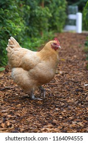 Buff Orphington Chicken