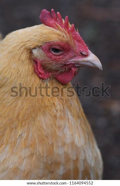 Buff Orphington Chicken