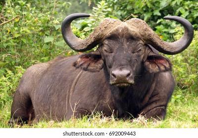 Buffalo at Aberdare, Kenya