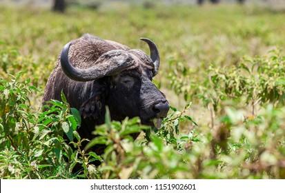 Buffalo in the Amboseli National Park, Kenya
