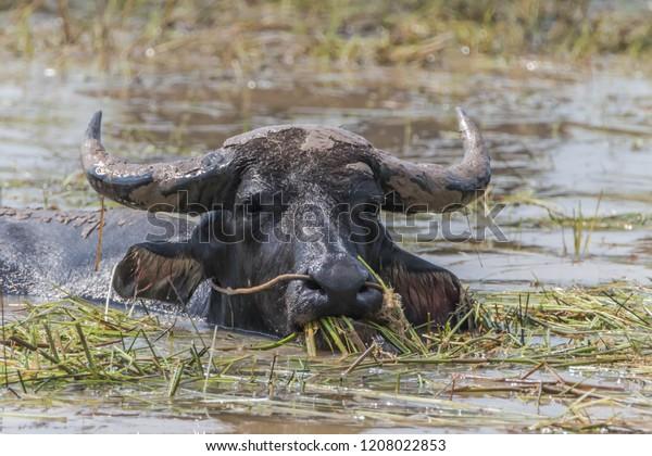 Buffalo Animal Four Legs Hooves Size Stock Photo (Edit Now