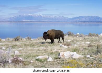 Buffalo in Antelope Island State Park