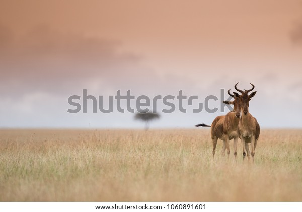 Buffalo antelope on african savannah in mistic light