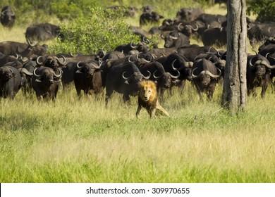 Buffalo attack lion