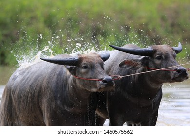 Buffalo background. The farmer traditional event in Thailand with Buffaloes Run Race before the rice planting season.