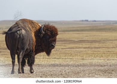 Buffalo in the Badlands National Park
