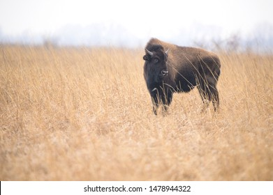 Buffalo being reintroduced in Kankakee Sands, Indiana