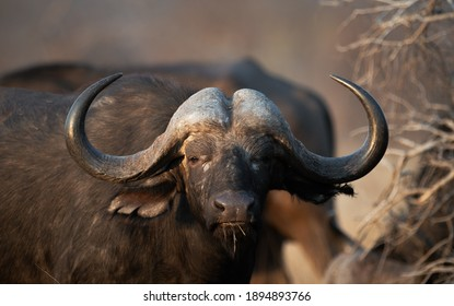 Buffalo Big5 Kruger national Park South Africa