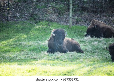 Buffalo bison lying down in green grass near Smoky Mountain National Park in Tennessee
