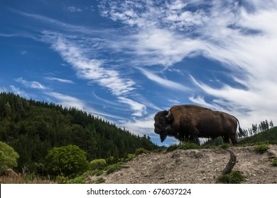 Buffalo (Bison) posing in front of dramatic sky.