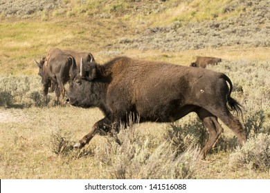 Buffalo Bison running in Lamar Valley Yellowstone