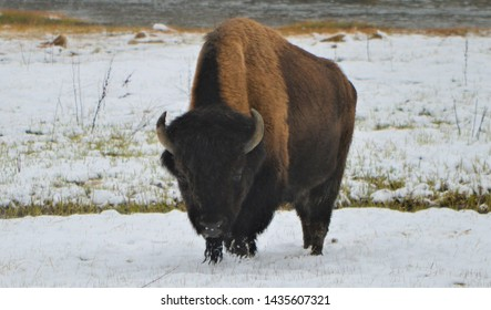 Buffalo Bison walking in the snow with snow on his nose and water in the background.